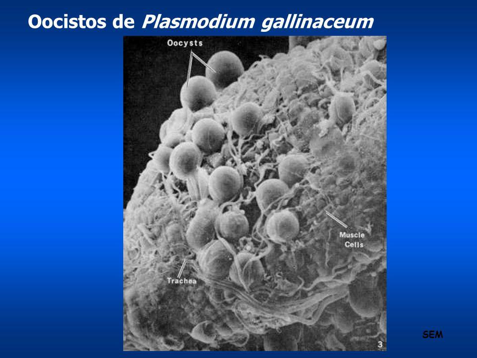 Oocistos de Plasmodium gallinaceum