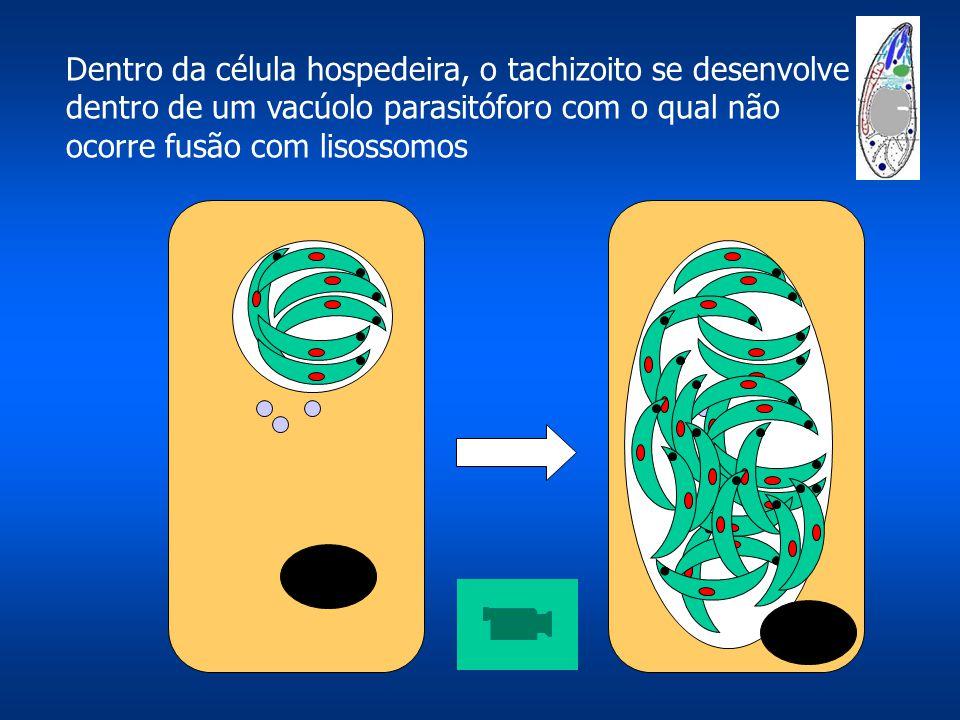 Dentro da célula hospedeira, o tachizoito se desenvolve