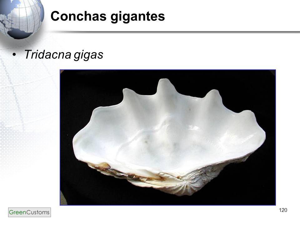 Conchas gigantes Tridacna gigas 120