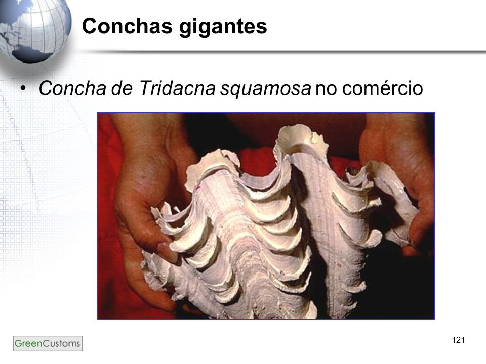 Conchas gigantes Concha de Tridacna squamosa no comércio 121