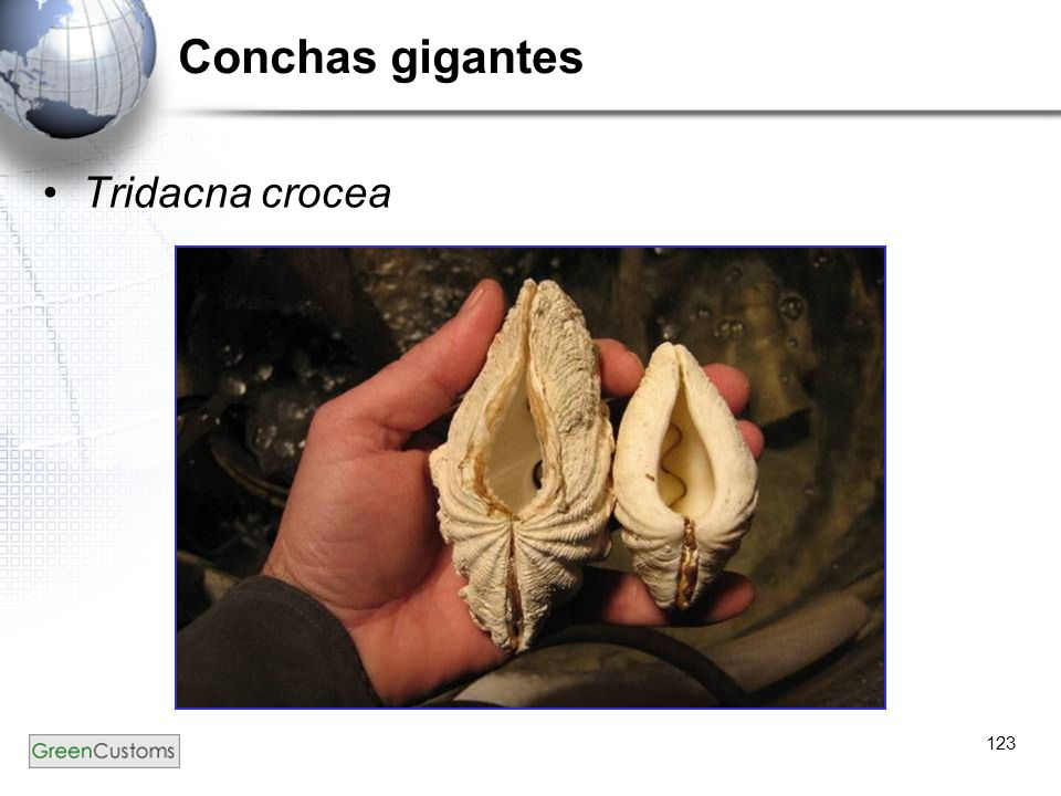 Conchas gigantes Tridacna crocea 123