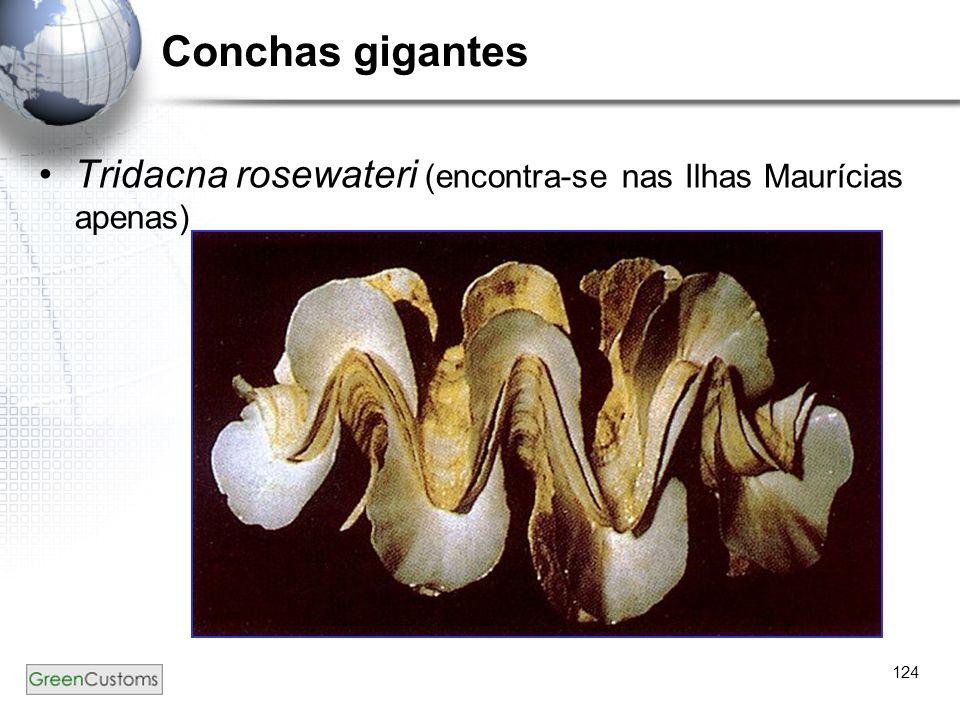 Conchas gigantes Tridacna rosewateri (encontra-se nas Ilhas Maurícias apenas) 124