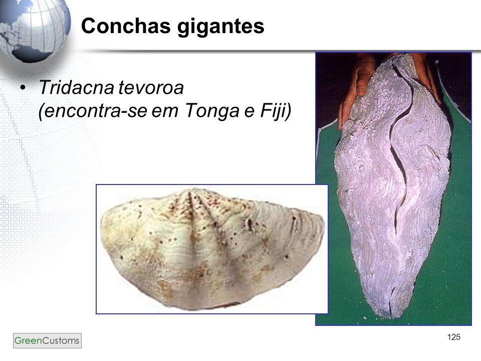 Conchas gigantes Tridacna tevoroa (encontra-se em Tonga e Fiji) 125