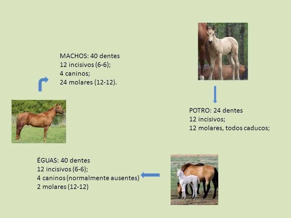MACHOS: 40 dentes 12 incisivos (6-6); 4 caninos; 24 molares (12-12). POTRO: 24 dentes. 12 incisivos;