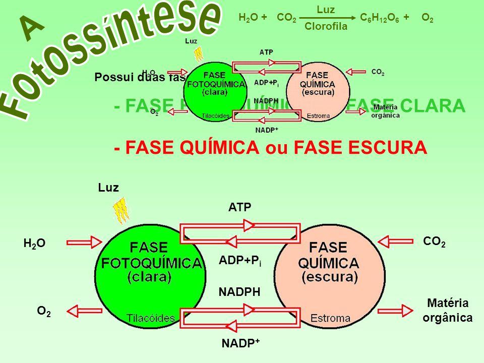 A Fotossíntese - FASE FOTOQUÍMICA ou FASE CLARA