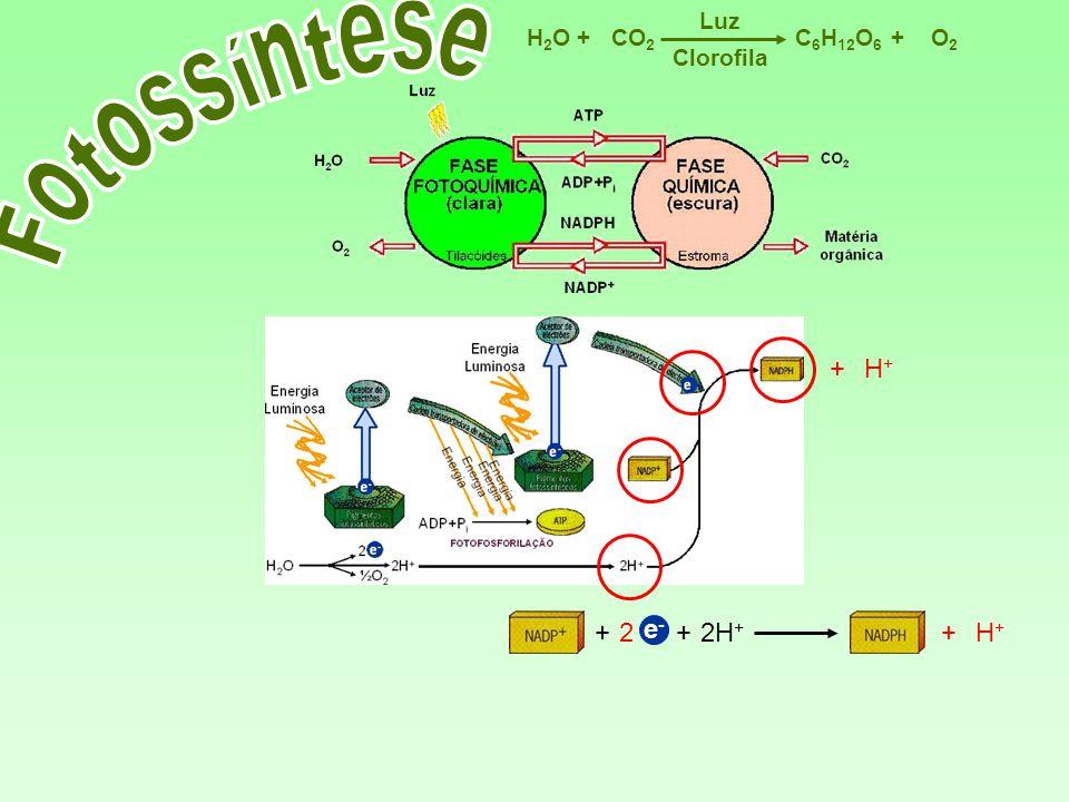 Fotossíntese + H+ + 2 e- + 2H+ + H+ Luz H2O + CO2 C6H12O6 + O2