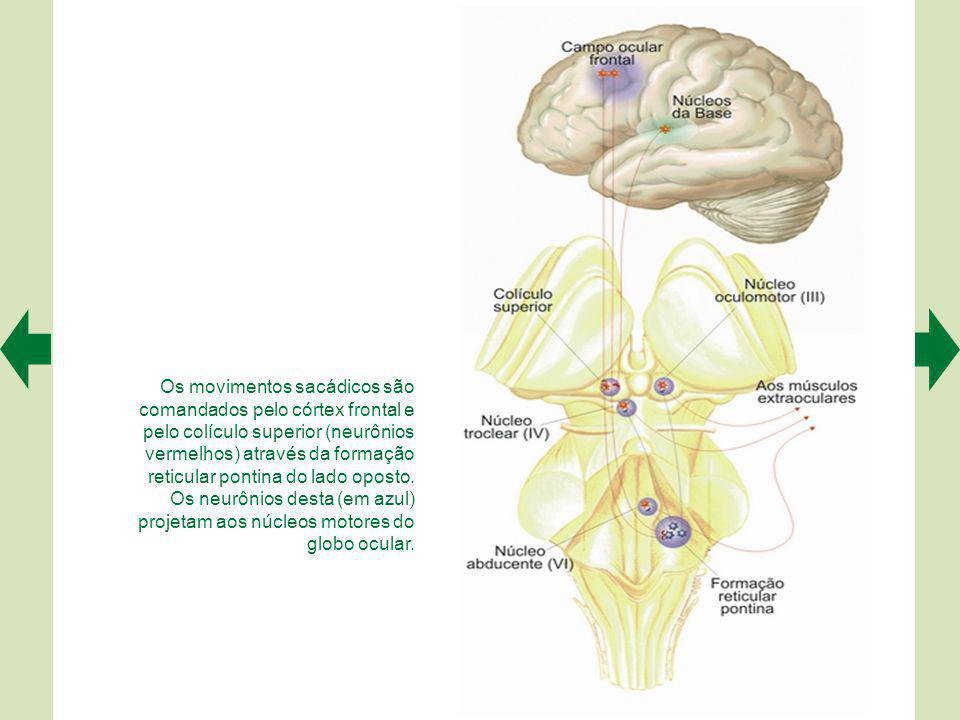 Os movimentos sacádicos são comandados pelo córtex frontal e pelo colículo superior (neurônios vermelhos) através da formação reticular pontina do lado oposto.