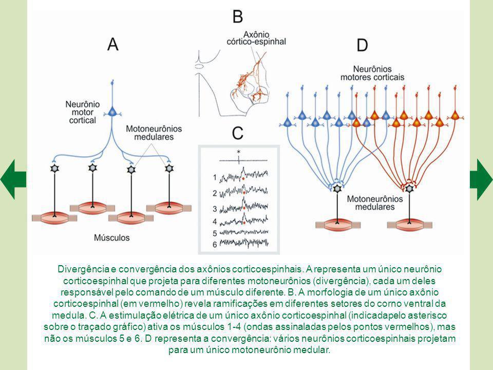 Divergência e convergência dos axônios corticoespinhais