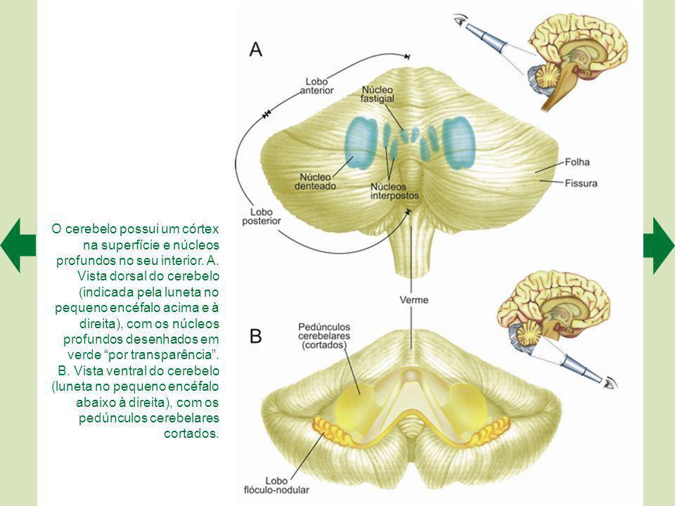 O cerebelo possui um córtex na superfície e núcleos profundos no seu interior. A. Vista dorsal do cerebelo