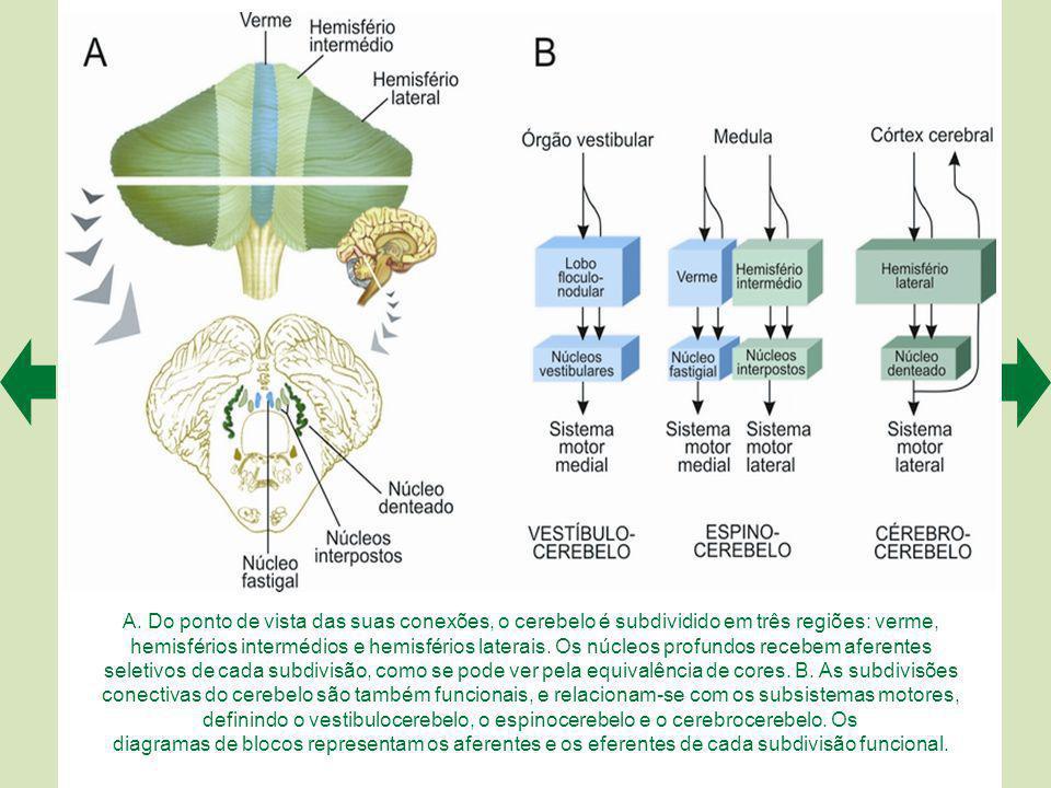 A. Do ponto de vista das suas conexões, o cerebelo é subdividido em três regiões: verme, hemisférios intermédios e hemisférios laterais. Os núcleos profundos recebem aferentes seletivos de cada subdivisão, como se pode ver pela equivalência de cores. B. As subdivisões conectivas do cerebelo são também funcionais, e relacionam-se com os subsistemas motores, definindo o vestibulocerebelo, o espinocerebelo e o cerebrocerebelo. Os