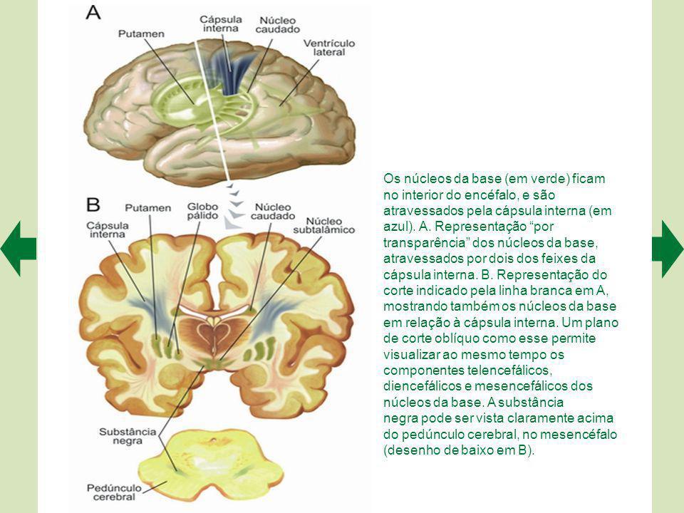 Os núcleos da base (em verde) ficam no interior do encéfalo, e são atravessados pela cápsula interna (em azul). A. Representação por transparência dos núcleos da base, atravessados por dois dos feixes da cápsula interna. B. Representação do corte indicado pela linha branca em A, mostrando também os núcleos da base em relação à cápsula interna. Um plano de corte oblíquo como esse permite visualizar ao mesmo tempo os componentes telencefálicos,