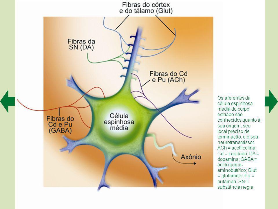 Os aferentes da célula espinhosa média do corpo estriado são conhecidos quanto à sua origem, seu local preciso de terminação, e o seu neurotransmissor.
