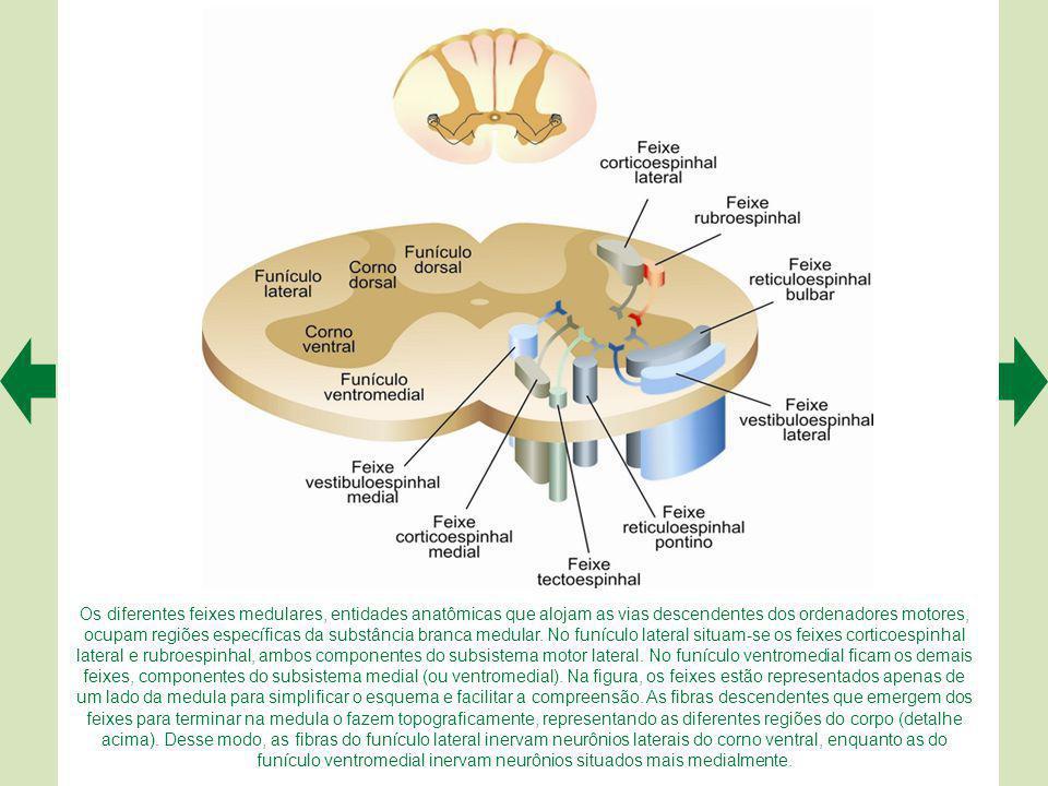 Os diferentes feixes medulares, entidades anatômicas que alojam as vias descendentes dos ordenadores motores, ocupam regiões específicas da substância branca medular.