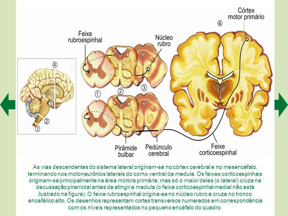 As vias descendentes do sistema lateral originam-se no córtex cerebral e no mesencéfalo, terminando nos motoneurônios laterais do corno ventral da medula.