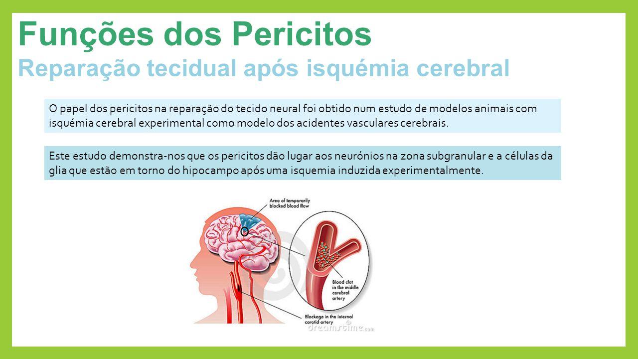 Funções dos Pericitos Reparação tecidual após isquémia cerebral
