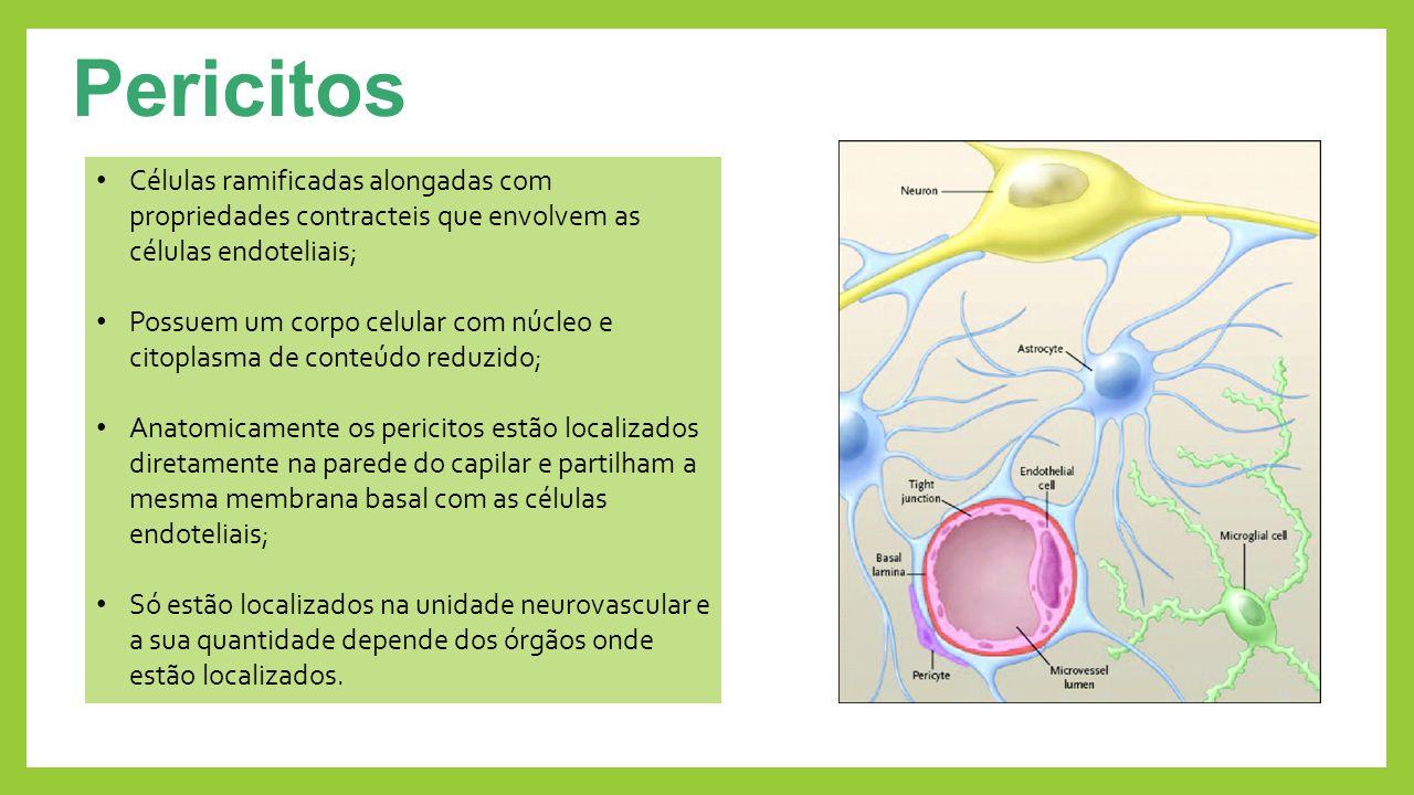 Pericitos Células ramificadas alongadas com propriedades contracteis que envolvem as células endoteliais;