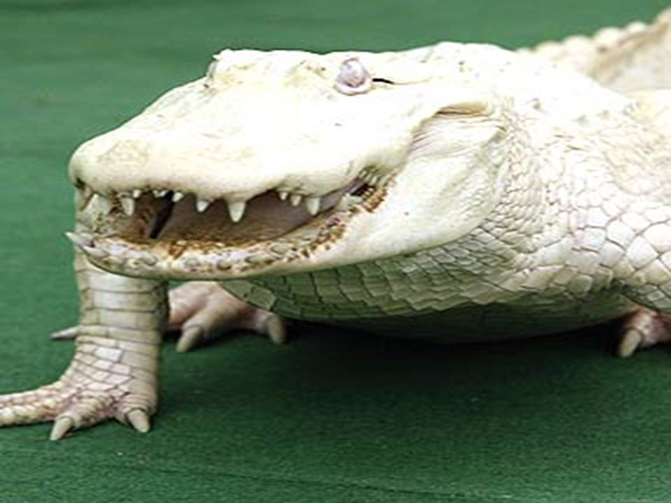 Ordem Crocodilia (crocodilianos)