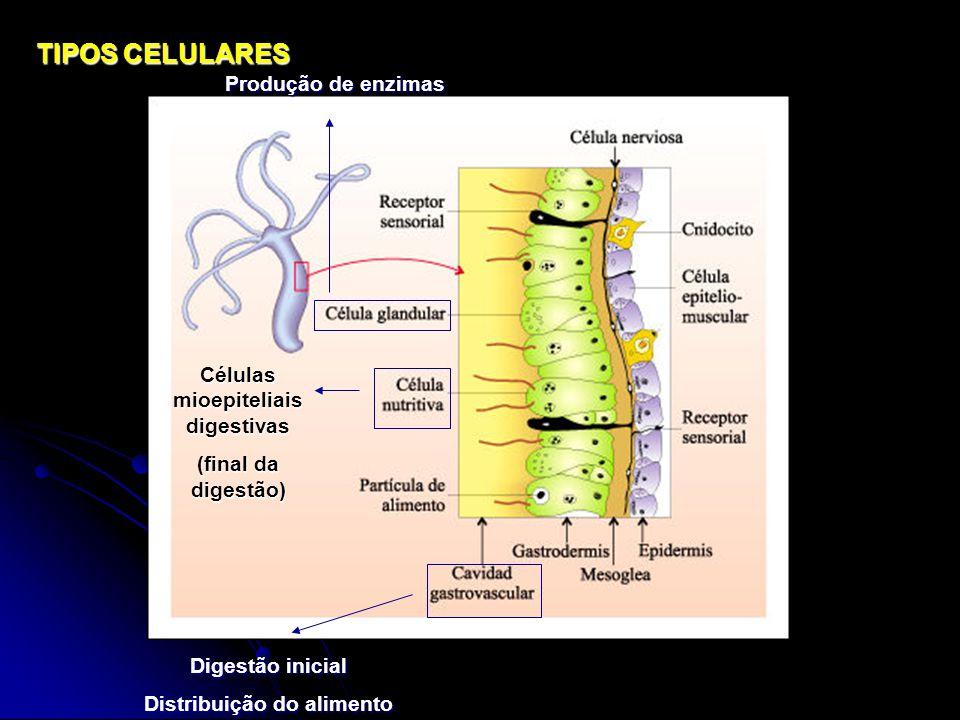 Células mioepiteliais digestivas Distribuição do alimento