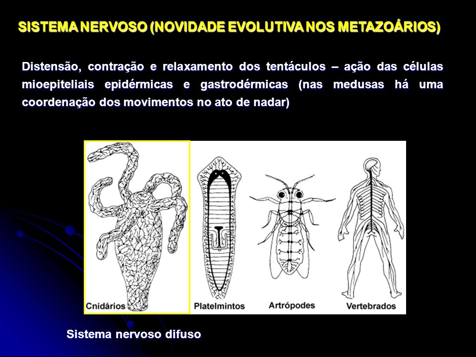SISTEMA NERVOSO (NOVIDADE EVOLUTIVA NOS METAZOÁRIOS)