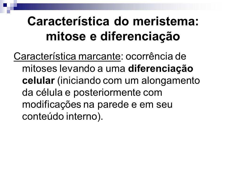 Característica do meristema: mitose e diferenciação