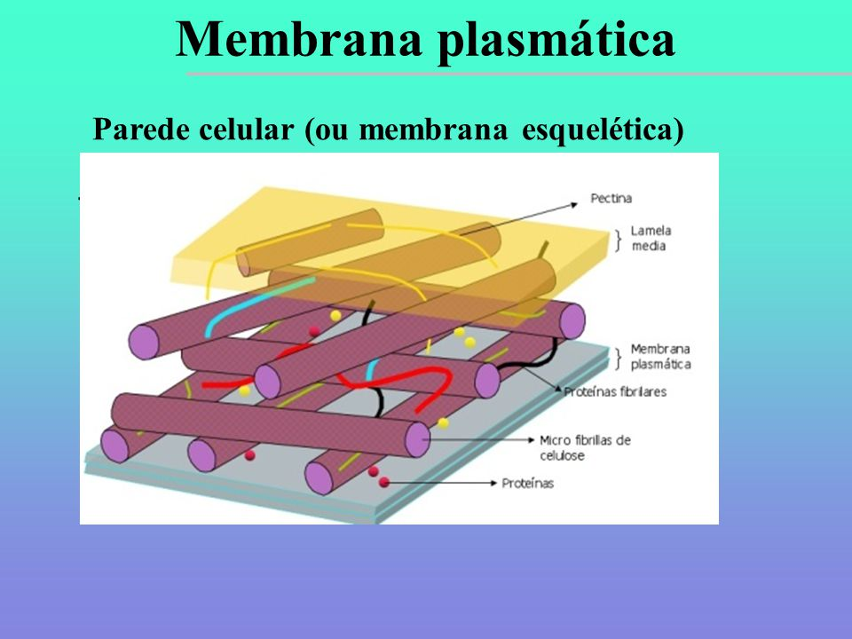 Membrana plasmática Parede celular (ou membrana esquelética)