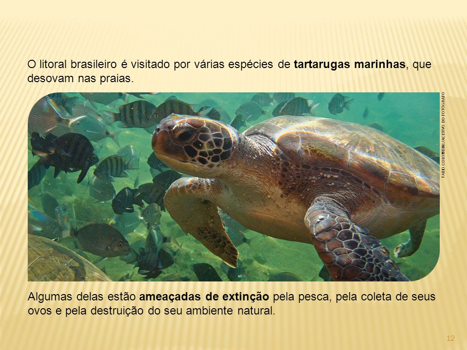 O litoral brasileiro é visitado por várias espécies de tartarugas marinhas, que desovam nas praias.