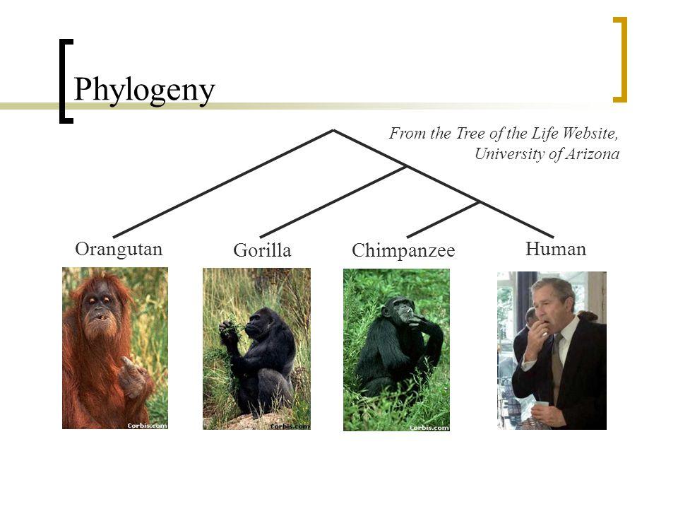 Phylogeny Orangutan Gorilla Chimpanzee Human
