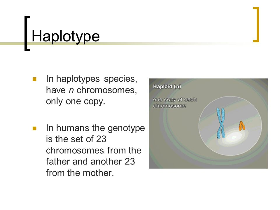 Haplotype In haplotypes species, have n chromosomes, only one copy.
