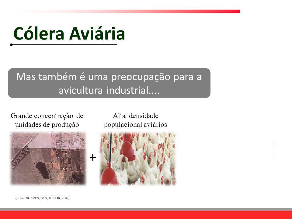 Cólera Aviária Mas também é uma preocupação para a avicultura industrial.... Grande concentração de unidades de produção.