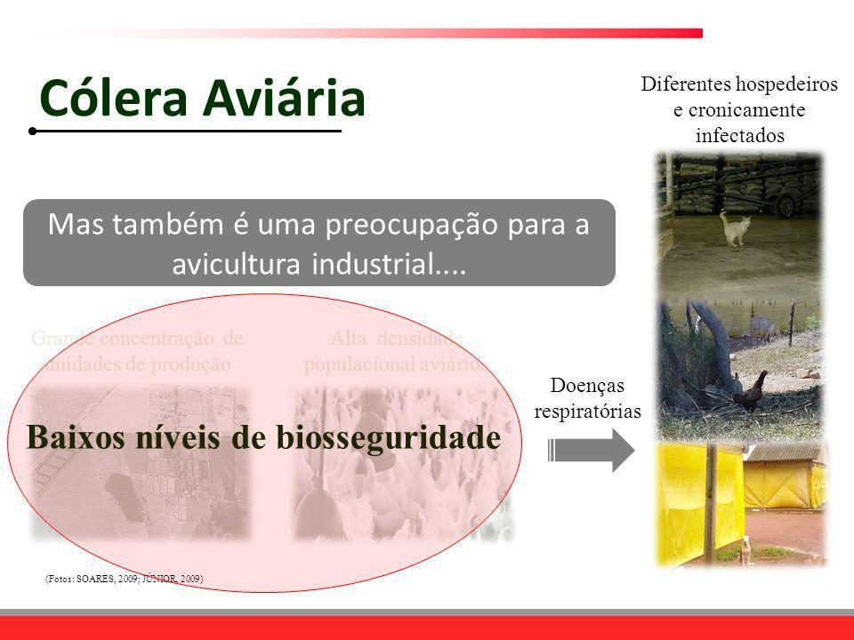 Cólera Aviária Baixos níveis de biosseguridade