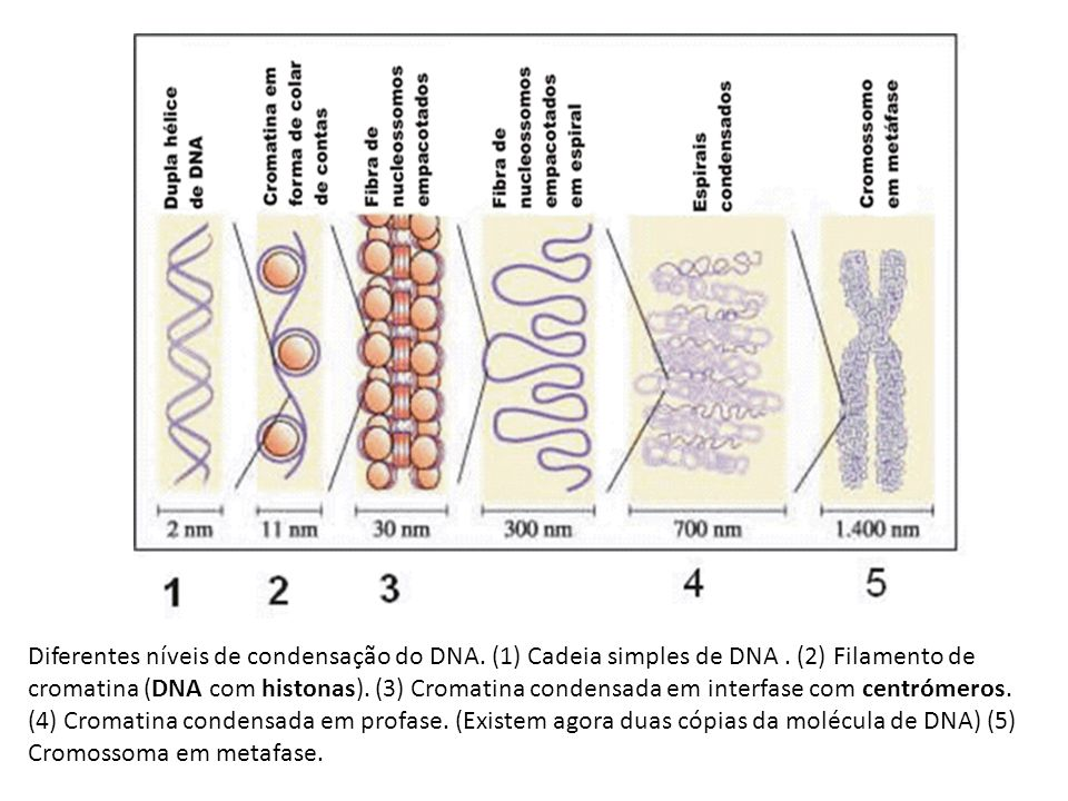Diferentes níveis de condensação do DNA. (1) Cadeia simples de DNA