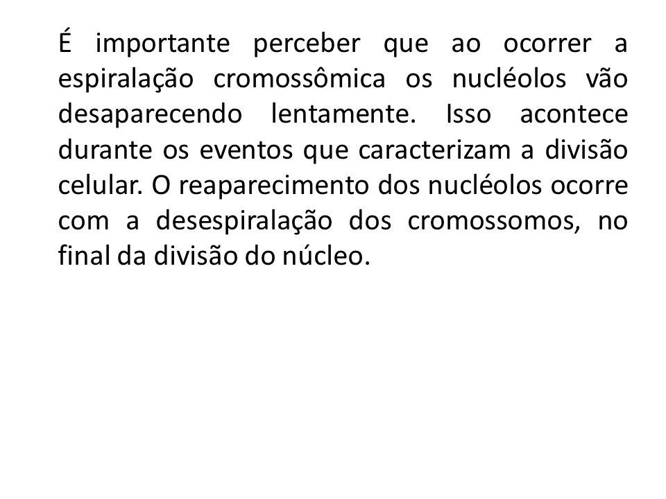 É importante perceber que ao ocorrer a espiralação cromossômica os nucléolos vão desaparecendo lentamente.