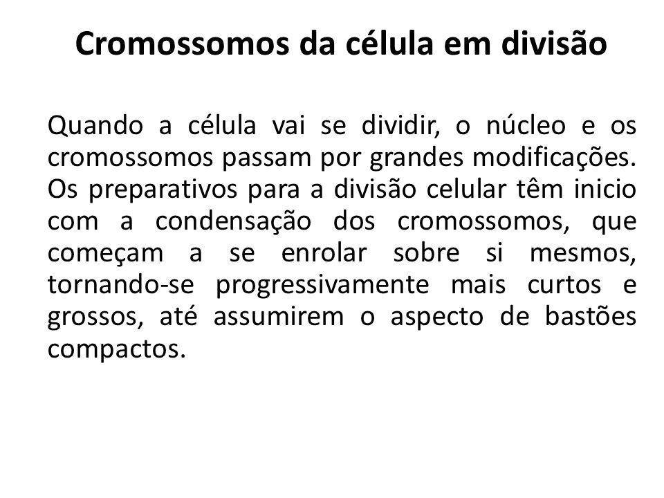 Cromossomos da célula em divisão Quando a célula vai se dividir, o núcleo e os cromossomos passam por grandes modificações.