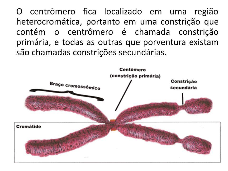 O centrômero fica localizado em uma região heterocromática, portanto em uma constrição que contém o centrômero é chamada constrição primária, e todas as outras que porventura existam são chamadas constrições secundárias.