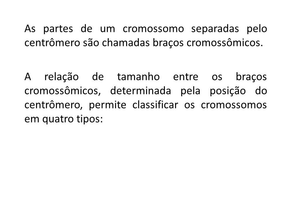 As partes de um cromossomo separadas pelo centrômero são chamadas braços cromossômicos.