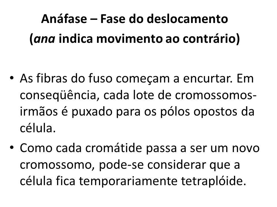 Anáfase – Fase do deslocamento (ana indica movimento ao contrário)