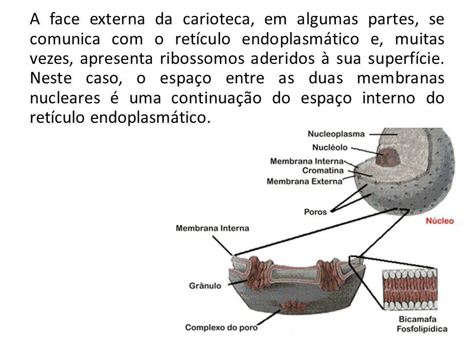 A face externa da carioteca, em algumas partes, se comunica com o retículo endoplasmático e, muitas vezes, apresenta ribossomos aderidos à sua superfície.