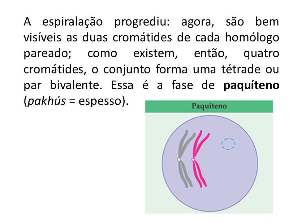A espiralação progrediu: agora, são bem visíveis as duas cromátides de cada homólogo pareado; como existem, então, quatro cromátides, o conjunto forma uma tétrade ou par bivalente.