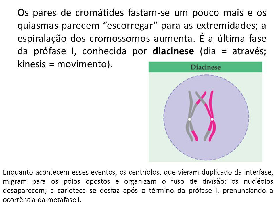 Os pares de cromátides fastam-se um pouco mais e os quiasmas parecem escorregar para as extremidades; a espiralação dos cromossomos aumenta. É a última fase da prófase I, conhecida por diacinese (dia = através; kinesis = movimento).