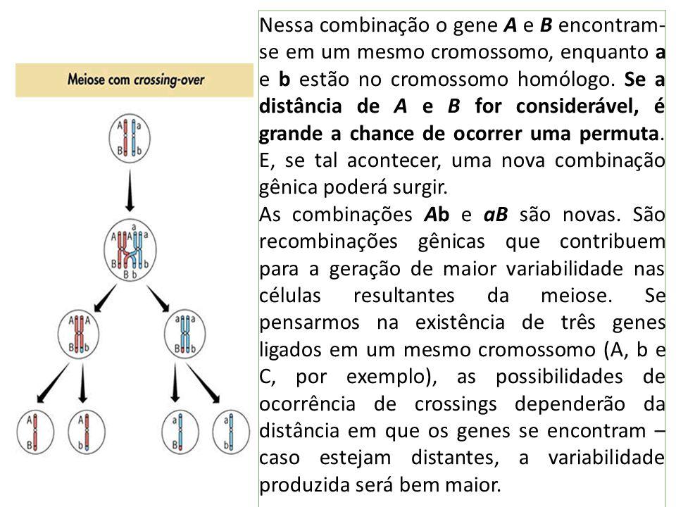 Nessa combinação o gene A e B encontram-se em um mesmo cromossomo, enquanto a e b estão no cromossomo homólogo. Se a distância de A e B for considerável, é grande a chance de ocorrer uma permuta. E, se tal acontecer, uma nova combinação gênica poderá surgir.