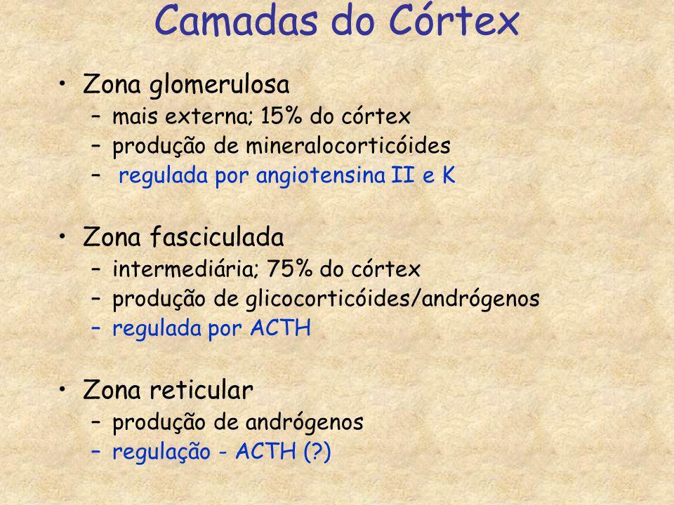 Camadas do Córtex Zona glomerulosa Zona fasciculada Zona reticular
