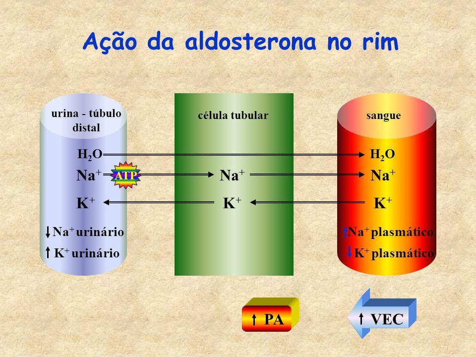 Ação da aldosterona no rim