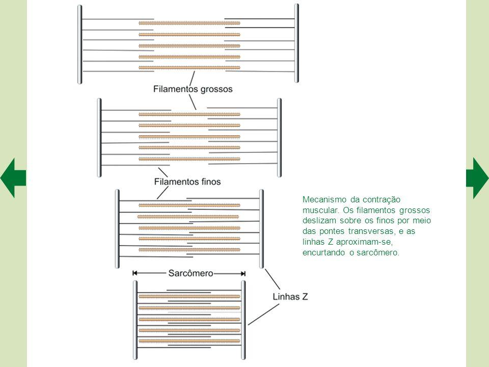 Mecanismo da contração muscular