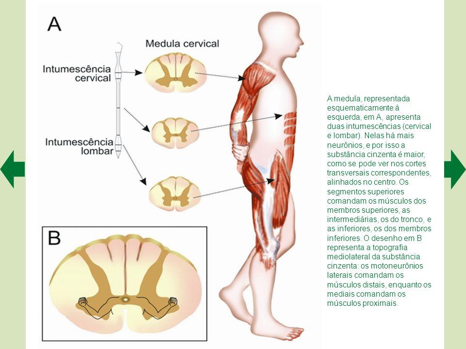 A medula, representada esquematicamente à esquerda, em A, apresenta duas intumescências (cervical e lombar). Nelas há mais neurônios, e por isso a substância cinzenta é maior, como se pode ver nos cortes transversais correspondentes, alinhados no centro. Os segmentos superiores comandam os músculos dos membros superiores, as intermediárias, os do tronco, e as inferiores, os dos membros inferiores. O desenho em B representa a topografia mediolateral da substância cinzenta: os motoneurônios laterais comandam os músculos distais, enquanto os mediais comandam os