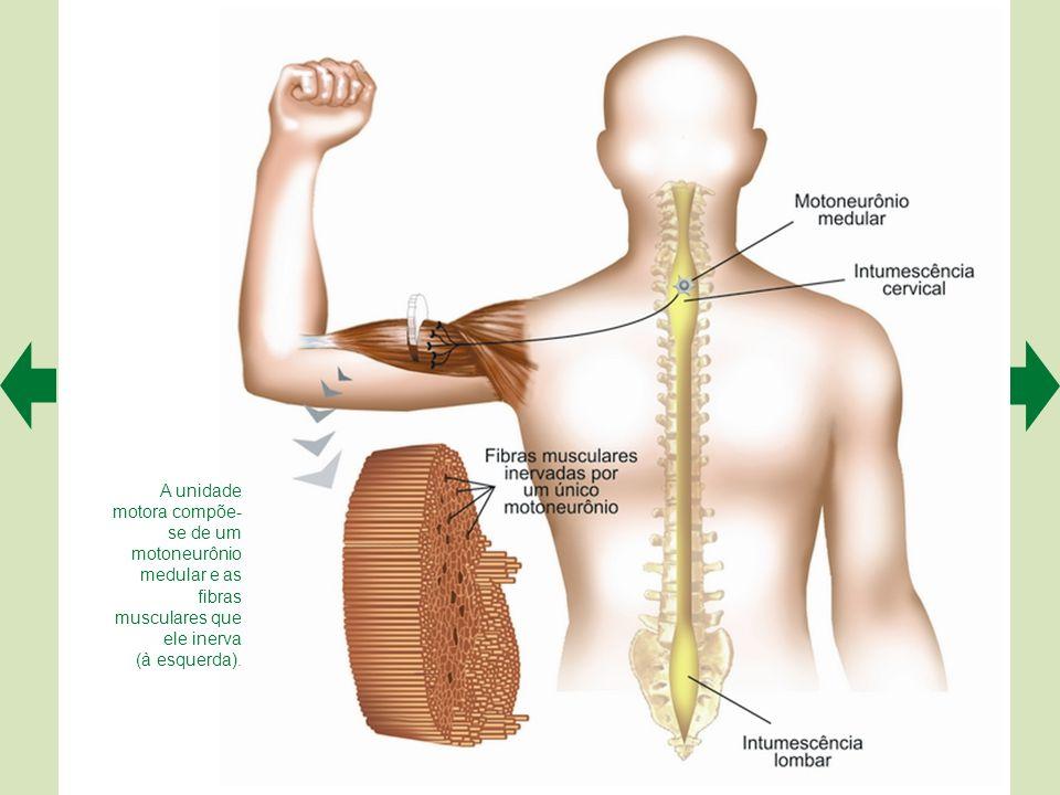 A unidade motora compõe-se de um motoneurônio medular e as fibras musculares que ele inerva
