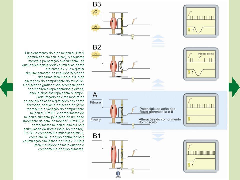 Funcionamento do fuso muscular