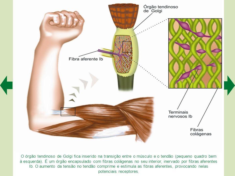 O órgão tendinoso de Golgi fica inserido na transição entre o músculo e o tendão (pequeno quadro bem à esquerda).