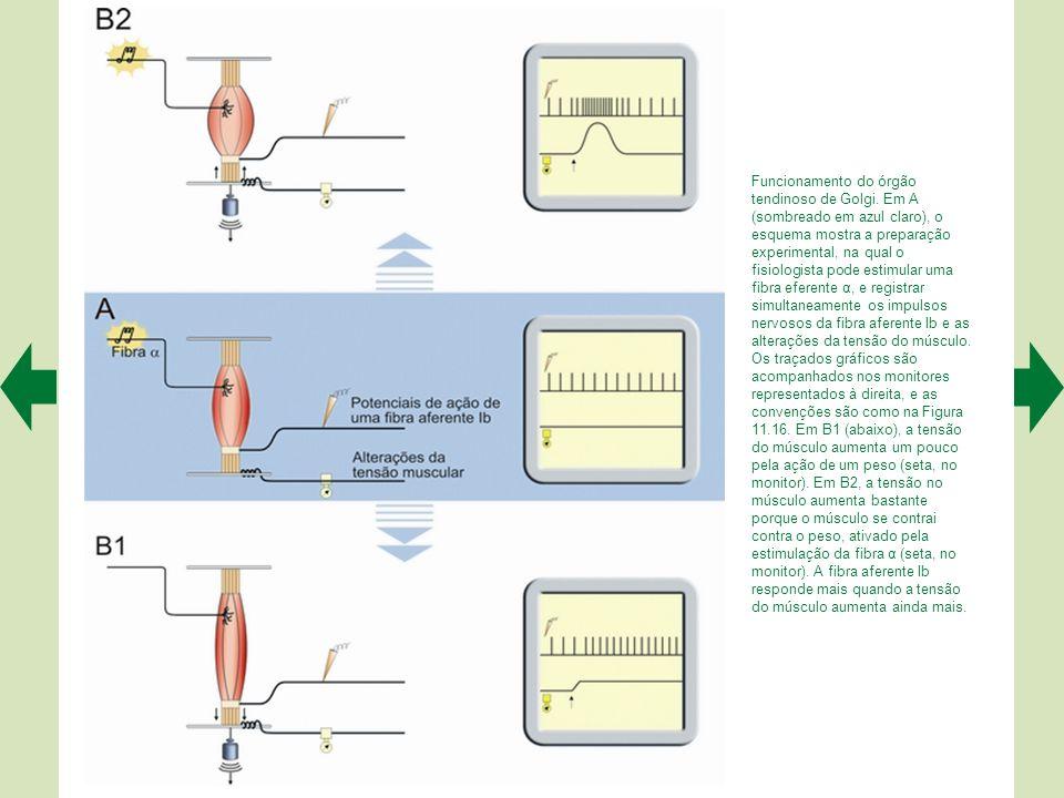 Funcionamento do órgão tendinoso de Golgi