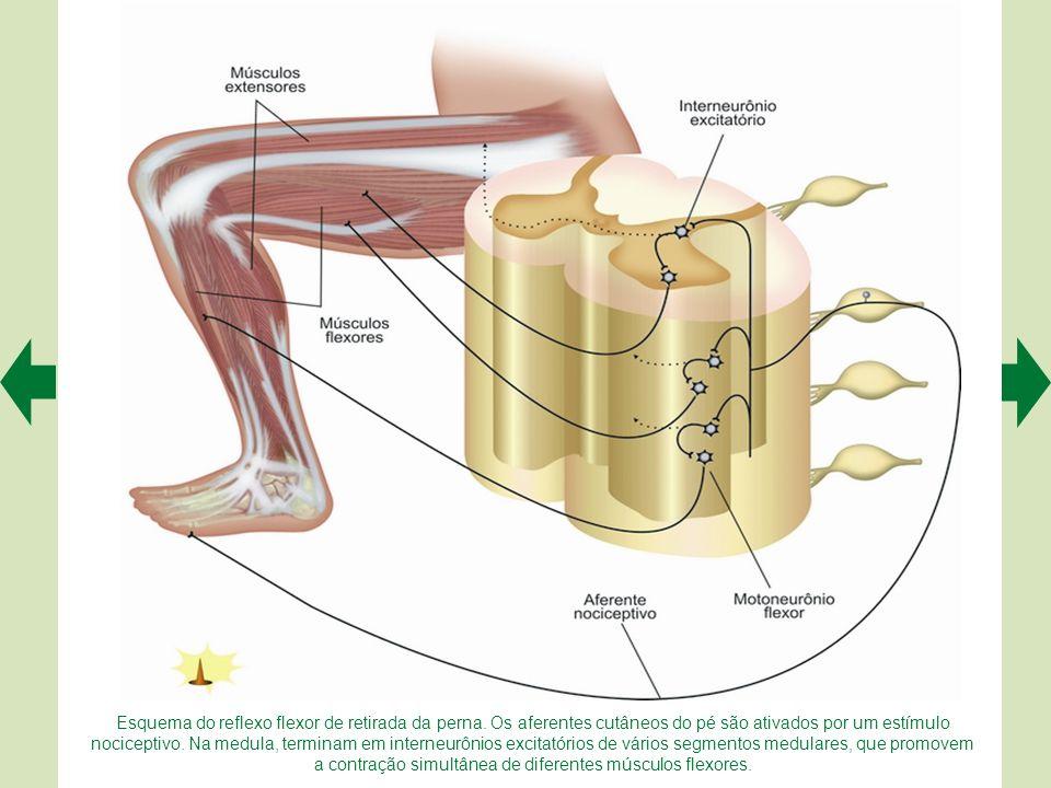 Esquema do reflexo flexor de retirada da perna