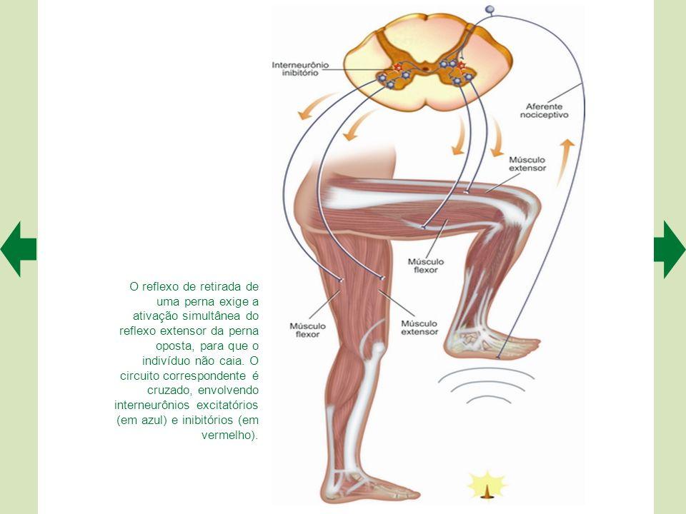 O reflexo de retirada de uma perna exige a ativação simultânea do reflexo extensor da perna oposta, para que o indivíduo não caia.